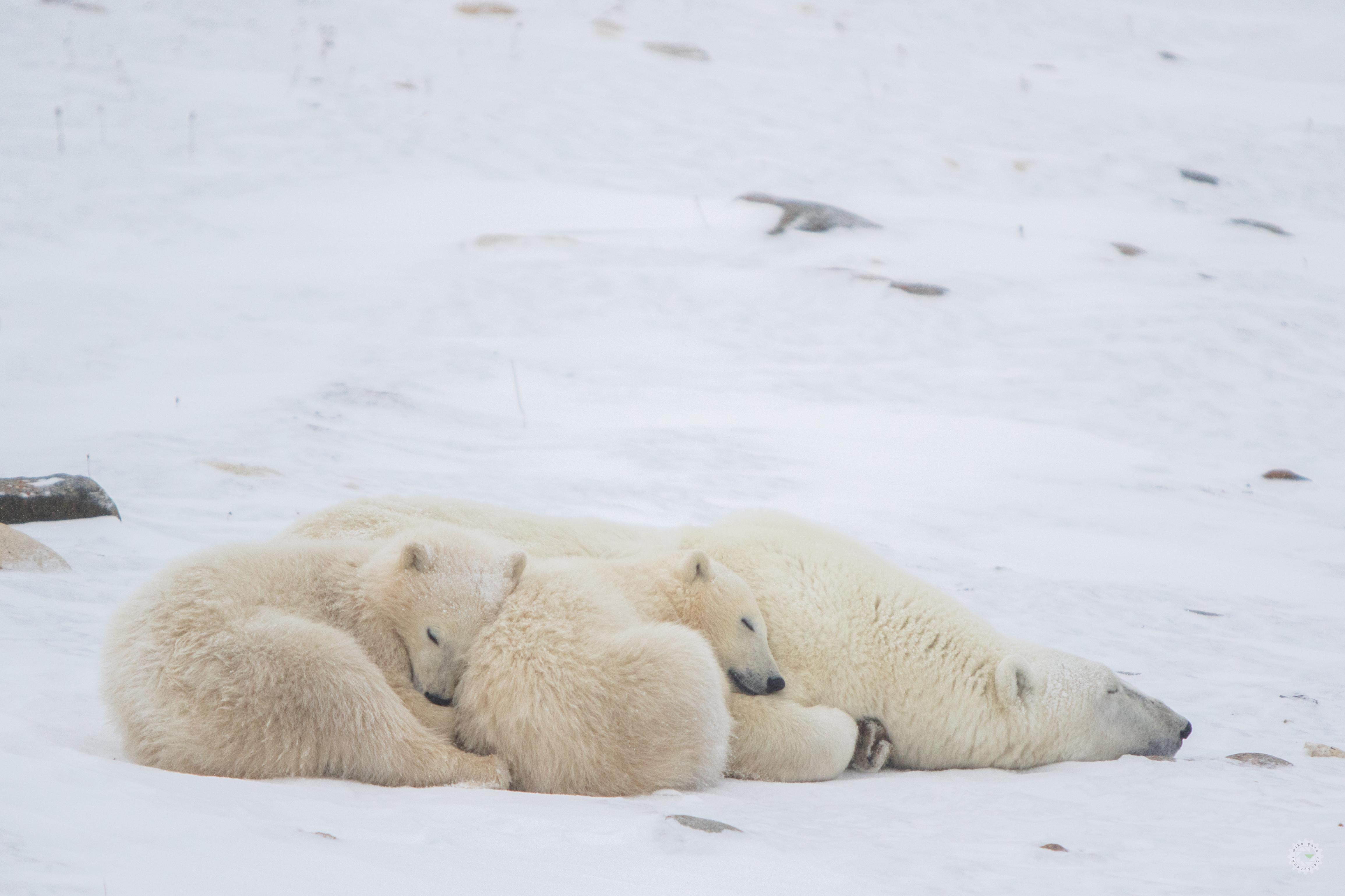 mike,gere,photo,photography,polar,bear,churchill,manitoba,cub,cubs