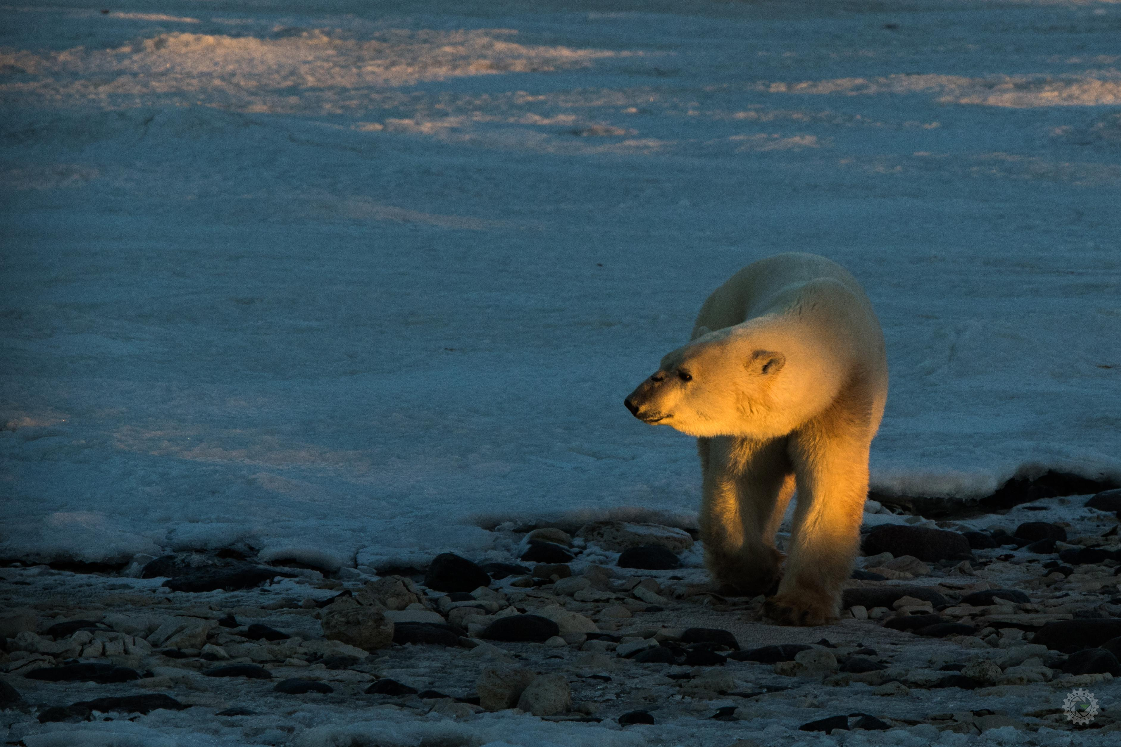 mike,gere,photo,photography,churchill,manitoba,jasper,alberta,polar,bear,bears,arctic