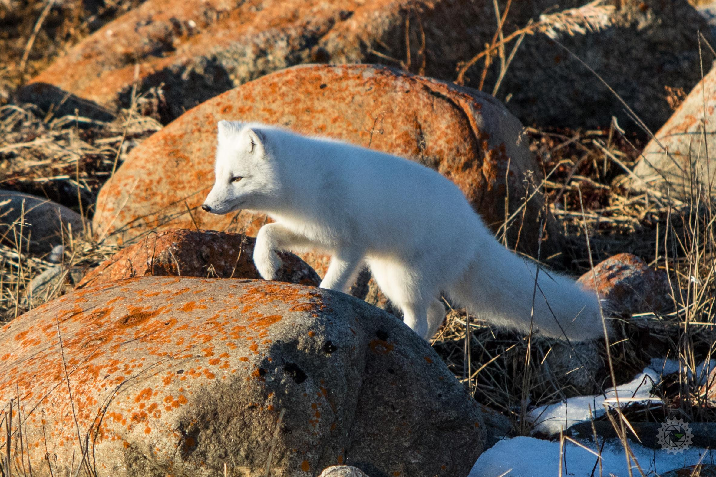 mike,gere,photo,photography,churchill,manitoba,jasper,alberta,canada,arctic,fox