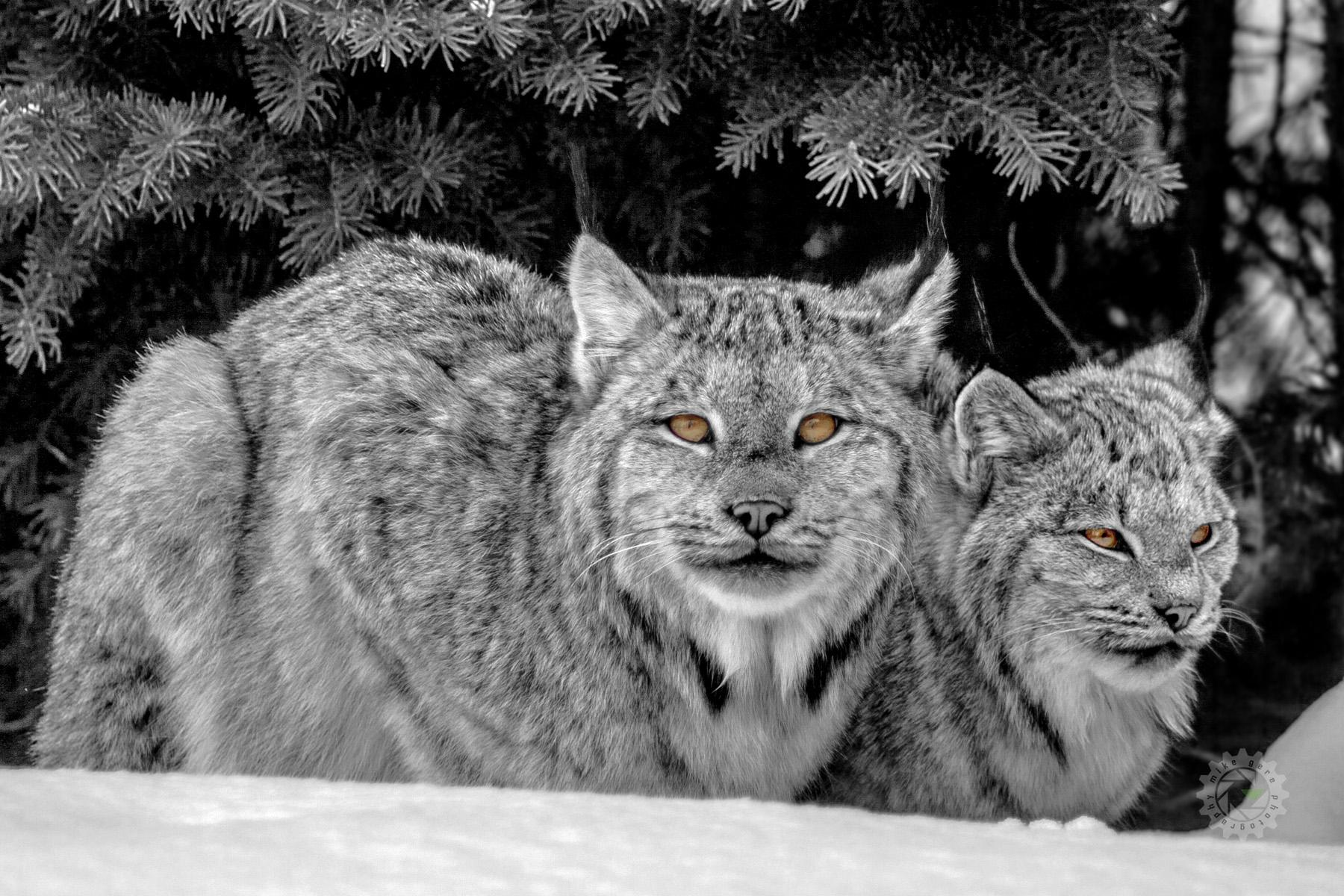 mike,gere,photo,photography,jasper,alberta,national,park,lynx