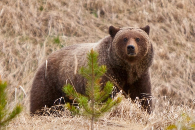 mike,gere,photo,photography,jasper,alberta,national,park,grizzly,bear